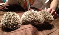 I have 3 baby hedgehogs for sale, 2 girls and 1 boy. They are all salt & pepper in colour and are fun, loving animals that will be ready to go to loving homes in 2 weeks. If you are interested please e-mail me and I can send you pictures and give you any