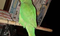 Hi selling a baby indian ringneck, he's much more pretty in person with lots of colors. I got him November 5th and he was around 3-5 weeks old. So he's about 2 months or so, which means he's just finished eating his baby food, he is now eating seeds. He