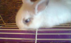 BABY LION HEAD RABBITS FOR SALE 8 WEEKS OLD AND .THESE ARE THE ONLY TWO LEFT OUT OF NINE