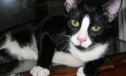 """Breed: Domestic Short Hair-black and white   Age: Baby   Sex: M   Size: M Neutered, Vaccinated, DOB April 14, 2011. Simon and his sister Brittany are known in their foster family as """"Bonnie and Clyde"""" because they are quite the 'get into trouble team'."""
