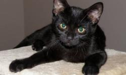 Breed: Domestic Short Hair-black   Age: Baby   Sex: M   Size: M Neutered, Vaccinated, DOB June 25, 2011. Mikey was rescued from a high kill shelter at eight weeks old along with his siblings Maddie, Millie and Marly. Millie and Maddie have been adopted
