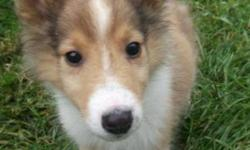 Breed: Collie   Age: Baby   Sex: M   Size: L Max really couldn't be any cuter if he tried. He is an adorable 8-week old Collie boy who is just as bouncy, goofy and fun as you'd expect a Collie puppy to be. Max will not be ready for his adoptive home for