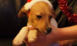 Breed: Terrier Chihuahua   Age: Baby   Sex: M   Size: S Butterscotch - male, vet checked, vaccinated, dewormed, ~16wks, Terrier/Chihuahua     Surrender from private kennel that is down sizing.     We expect this little guy to be about 12lbs when full