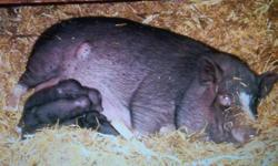 We had six baby potbellied pigs born on Oct 2/2011. We will be selling them for $50.00 a piece. Mother is about 50 pounds (but fat and milking) and dad is about 30 pounds.   They can be house trained. Great companion.   They will be ready to around Nov