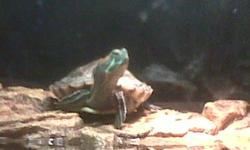 he is a very cute red eared slider it comes with his tank(75 gallon tank), 25 w heat lamp, 13w uvb light, basking rock, food(i have frozen and pellets), calcium stone,!!!! all he needs is a filter and if u want some pebbles.
