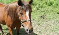 """Beautiful bay pony mare.  Broke to ride.  Has been used for kid birthday pony rides.  Very sweet and loving is one of the first to meet you at the gate.  Lives outside in a mixed herd. Is in foal to a 34"""" mini sorrel pait stalion."""