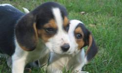 I have 5 male beagle pups for sale can all be papered are dewormed13 weeks old great for house pets or a hunting buddy email me at bigjm_79@hotmail.com 613 657 8909 ask for Jason  thanks