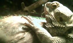 LARGE MALE BEARDED DRAGON, VERY FRIENDLY, EATS LIKE A CHAMP AND LOVES BEING HANDLED. HE DOES NOT COME WITH SET UP UNLESS THE OFFER IS RIGHT. I AM TRYING TO MAKE ROOM FOR SOME DIFFERENT PROJECT SO BEST OFFER TAKES HIM. THANKS 289-222-0171