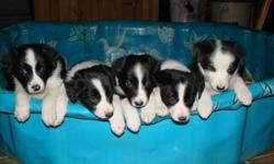 Black and white border collie pups both parents on site. Will be get working dogs or just a great pet. 3 Males left.