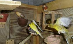 I have a few beautiful canaries for sale, they are healthy and with lots of colors to pick . I am selling like this $50.00 for the males and $35.00 for females.You are welcome to come and pick the one you like. Thank you for looking at this add.