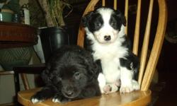 We have beautiful Border collie/ Australian sheperd puppies for sale. Blue merles with blue eyes $350. and Black and white classic pattern $250. The dad is pictured, he's the red merle with blue eyes. These pups will be super easy to train and just want