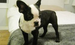 For sale is a magnificent female Boston Terrier. She is 12 weeks old with a shiny black & lightly brindled coat with BIG rounded ears. Very cute feature. 12 weeks/3 months old. Almost totally housetrained - sleeps in crate overnight & when we're out.
