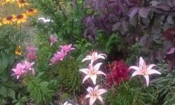If you are looking for perennials that are beautiful, hearty and low-maintenance, come by my garden in Kanata and select from these already-potted and well-rooted plants. I am a long-time and trusted seller of beautiful healthy perennials. I have many