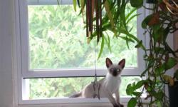 Beautiful Pure Siamese kittens and cats. Our cats are pure Siamese, original colours only, seal, blue, chocolate or lilac. No mixtures. We have both parents onsite so you can see the quality and personality.   There is 1 male seal point still available.