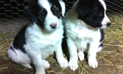 Our Border Collie Dogs had pups! No, we are not dog breeders, this was not planned, but we have 11 pups that need homes. If you are looking for a puppy please make sure you understand what kind of a dog a border collie is and what it's needs are before