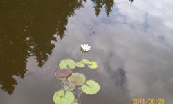 Beautiful water Lilies 1 for &25.00 2 for 45.00.
