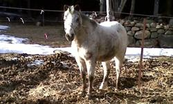 great learning pony for any beginner or experienced rider. Dallas is around 10 hands high and LOVES little kids, she is broke to ride and is 17 years old . great personality and low maintenance. ive had her for a few years as she was my first horse,. shes