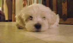 Friendly, affectionate home raised puppy. There is one puppy available and his name is Mikey. He is hypo-allergenic and non-shedding and will be no more than 10-12 lbs when full grown. He will make a great family pet and companion. Please call