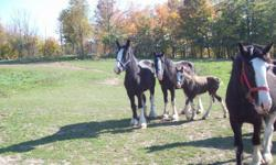 Need to down size I have 7 Black Clydesdale mares and fillies for sale . 4 mares are all broke to drive 3 mares are pasture bred for 2012 foals . Priced from $ 700 to $2500 call or email for more details 613 548 0432 .