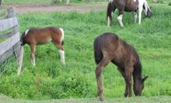 """""""Babe"""" is a beautiful black filly with a big white star. Dad is a Black American Warmblood and mom is a Black and white Pinto (Paint X Egyptian Arabian). Mom's arabian lines include; Coaltown, RUMINAJA ALI and many more greats. Price is $1500 OBO, and"""