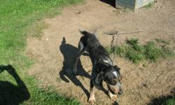 Female bluetick coonhound for sale asking $150.00 she is lightly started and ready to go, very good around the house and with other dogs she has a good mouth and is smart and friendly. Call Dave at 613-213-4493 or 613-657-3998