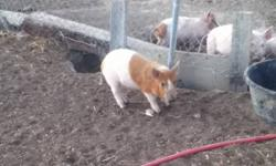 Red spotted crossbred piglet uncut can be used as breeding boar or butcher hog for more info contact through email or 403 647 2681 ask for Mitch or Paul This ad was posted with the Kijiji Classifieds app.