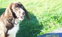 Male, 8 months old, house trained, good with other dogs, cat and teenager with young children i don't know. this is a english spaniel.