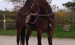 Buddy is an amazing horse whom you can do anything with he is around 10-12 yrs old, 15.3 hand standarbred. When it comes to being safe and reailable he is your horse. He is a kid safe horse perfect for a beginner rider, child, or timid or nevors rider. He