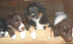 Border Collie pups for sale. Both parents are on site and both are registered. Very intelligent dogs with great personalities.Pups have been Vet checked, dewormed and have had their first vaccination. Pups are ready to go immediately. Call 902-848-6013
