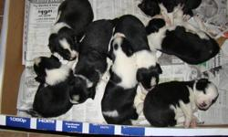 Black and white border collie pups both parents on site. Pups will not be ready to go until Jan 15, come and pick one out and we will hold it for you. 3 Males left.