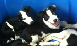 Perfect for the active family or would make a great Agility Dog. These pups are very smart ? 1 is already doing well in the Agility classes We now only have 1 very adorable  MALE puppy left ? and looking for a loving home. Located in Langley if you would