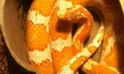 Approx. 4 and ½ foot long albino creamcicle male and 3 foot long red and gold patterned female.  They come with an enclosure equipped with a water bowl, cave, drift wood, coconut husk , heat lamp and whatever mmice I have left at the time.  Proven