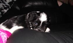 We are lovable little Shih Tzu puppies. Purebred. We have been raised by our mom and our people family We are now ready for our new forever home.   These pups have been vet checked, had first shot and been dewormed.  The pups are 90% potty pad trained.