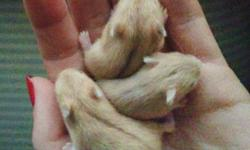 """Honeys-Hammies breeders of Pure Bred Campbell's Dwarf hamsters has Babies and Young hamsters available. Young Males and Females Available (5 weeks  - 16 weeks old). Many colors including in Platinum and Mottled Patterns: Argente, Agouti """"wild"""", Beige,"""