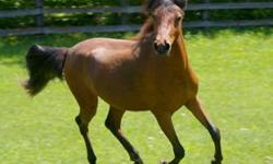 Caspian gelding, bay, purebred, registered, approximately 12.2h, 9 years old. Great conformation, pretty head/neck, grows tail to the ground and mane to his knees. Very fancy mover. Excellent mind, sweet, calm, brave. Loves attention. Easy to handle. No