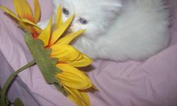""""""" THE PURRRRRRRRRFECT COMPANION ' PURE BRED REGISTERED THROUGH THE CANADIAN CAT ASSOCIATION THESE BEAUTIFUL LITTLE KITTENS ARE FRIENDLY & ADORABLE! AVAILABLE ARE THREE PRECIOUS KITTENS. TWO NON-POINTED WHITE KITTENS WITH BLUE EYES ONE BOY ONE GIRL OR A"""