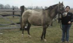 Chappy is a 16 year old appaloosa gelding. He is broke to ride western. Excellent disposition and fun to ride. He would be good for anyone. Excellent for vet and farrier. He is up to date on vaccinations, trimming, and de worming. Asking 1500.00 OBO.