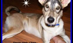 Chester, male husky mix approx. 6 1/2 mths. old, great personality, energetic and will require some training.  He's in the puppy stages and is a very curious puppy. Vaccinated and neutered.