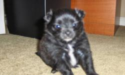 SHE IS ONLY 6 WEEKS OLD, WILL BE READY FOR XMAS CUTE AS A BUTTON JUST A LITTLE BALL OF FUR MOTHER AND FATHER ARE 6LBS CALL IF YOU WOULD LIKE TO SEE HER PICTURES DONOT DO HER JUSTICE A MUST SEE!!! will update picture week NEW PICTURES (12/06/11) NEW