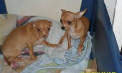 chihuahua puppies Females-$400.00 Males-$300.00 for more information on the puppies please call 1-780-524-5600 we CANNOT respond to emails. thank you.