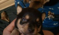 Only ... 2 males left text me or call ...ask for douglas. there such a great lap dog. if i could id keep them all.. (705)716-8833... best time to get ahold of me is 8a.m to 3p.m.
