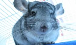 Selling my One Year old Male Chinchilla, his name is Icarus. He is a grey chinchilla that needs lots of attention. Being caught up in school, I can't spend as much time as I need to with him. He is really good around children (not very young ones though).