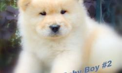 AKC CREAM CHOW PUPS FOR SALE, 9 WEEKS OLD,  ALL WANTING A NEW LOVING  HOME JUST IN TIME FOR THE HOLIDAYS. The mother is from Budapest, Hungary and is from a long line of champions.  We feel that the chow breed needs new bloodlines brought into it to