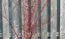 Red Dogwood sprigs for sale. $8.00 per bunch, or 2 for $15.00 They are in bunches of 10 large stems....perfect for any Christmas Decor...indoors or out.  They will last the entire Christmas season, and are highly verdsatile.  Window Boxes, indoor vases,