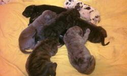 Great Dane Puppies will be ready to go just in time for Christmas raised in are home with both parents on site we have 2 blacks asking $500  3 Brindles asking $800 (1 blue female SOLD) 1 Harlequin Female asking $900 and 1 merle male asking $800 email Now