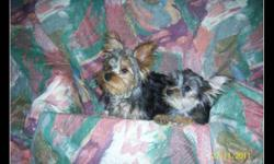 Hello Everybody, i have some christmas ideas here for you for that special loved one that you shop for and can not find a gift so ... STOP LOOKING here are some little sweeties i have three chorkies and also i have two yorkies girl and boy yorkies are vet