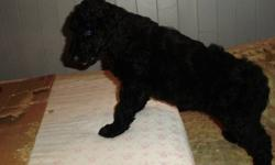 WE HAVE 4 WONDERFUL STANDARD POODLE PUPPIES AVAILABLE JUST IN TIME FOR CHRISTMAS.  THESE LITTLE FLUFF BALLS ARE HYPO ALLERGENIC AND NON SHEDDING.   1ST SHOTS, DEWORMED, VET CHECKED, NATURAL TAILS AND ALL, GREAT WITH KIDS AND OTHER PETS, COLLAR, AND TOY.