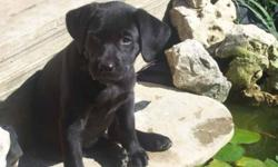 CKC Reg'd  Black Labrador pups ready to go!. Beautiful English style pups, wide deep chests and shoulders, wide square heavily muscled hips, gorgeous bullet heaf, well rounded, excellent ears set.The pups are family raised in the house with 8,6,4 yr old