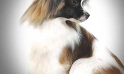 We breed and show beautiful Papillon dogs (Butterfly dog). We breed for temperament, standard, and health. Quality not Quantity!  If you are interested in this beautiful breed please check out our website. We sometimes have companion puppies available.