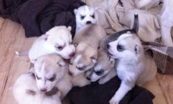 CKC Siberian Husky puppies for sale. 5 girls and 2 boys. Red and whites, and grey and whites. Ready to go November 4, 2011 after 8 weeks of age. Both parents are registered, dam has completed her championship and the sire is in the process of completing
